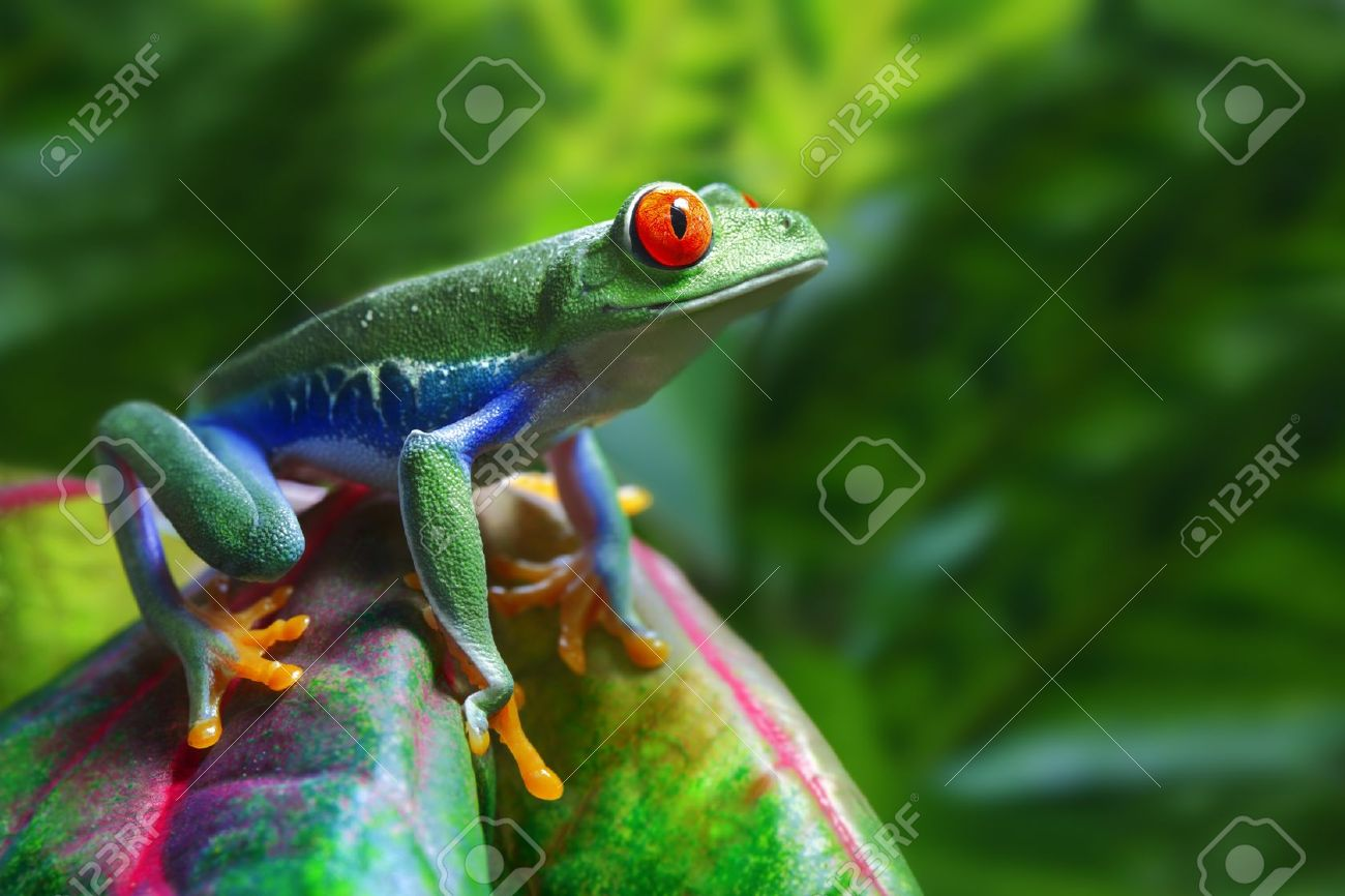 Red-Eyed Tree Frog - 10049850