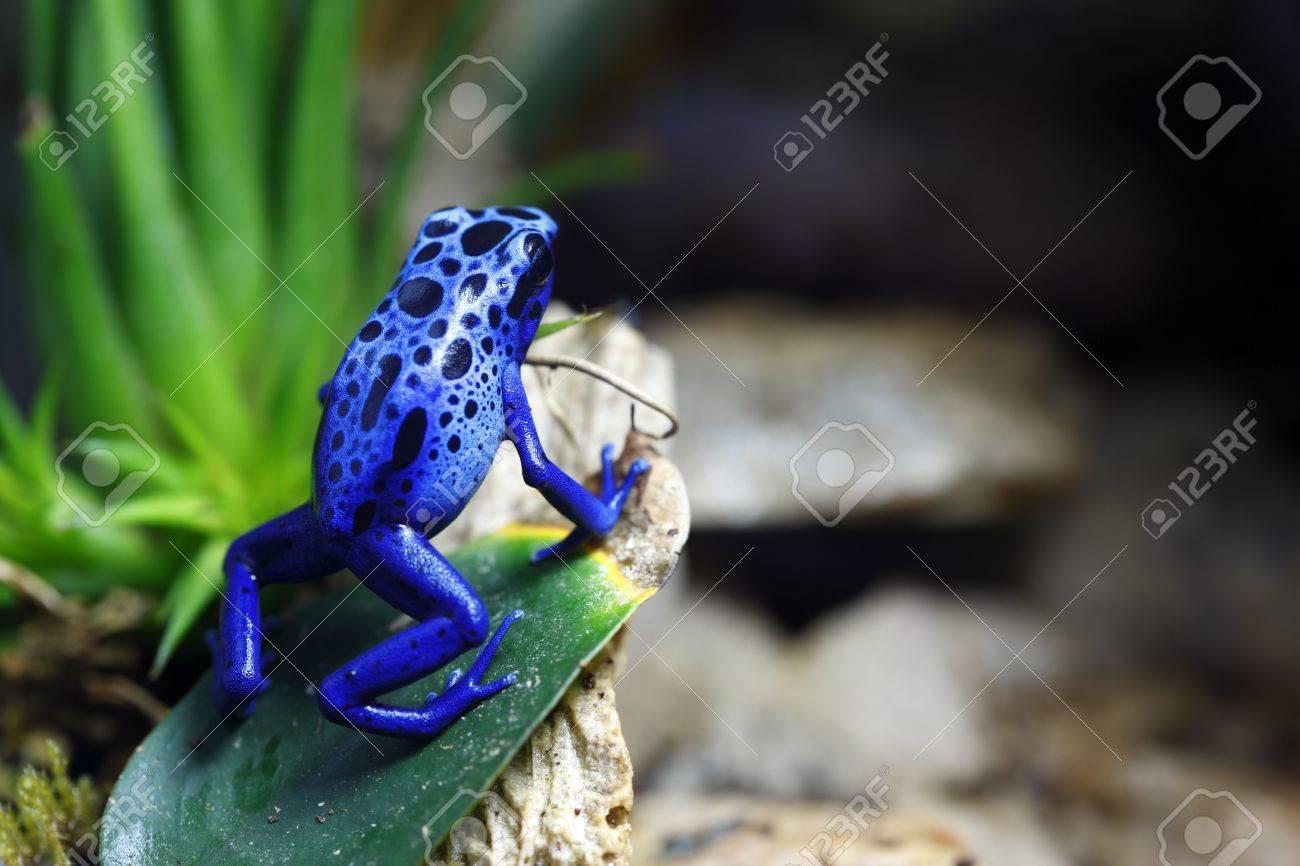 Blue Poison Dart Stock Photo - 10049864