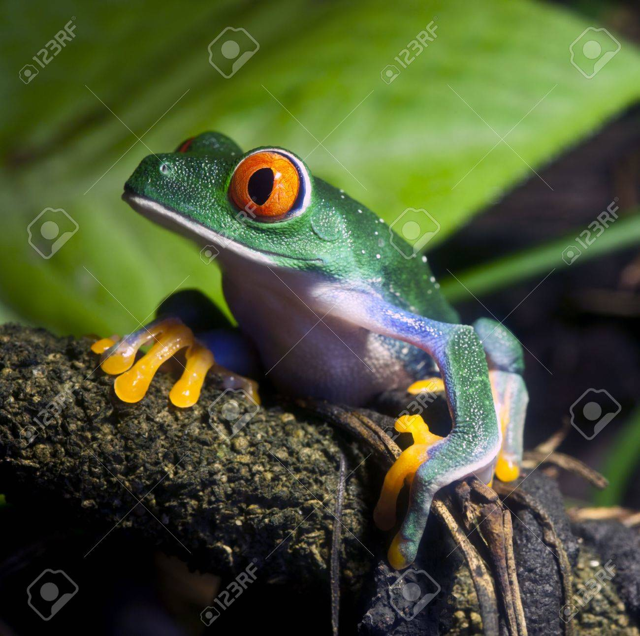 Red Eyed Tree Frog - 10383865