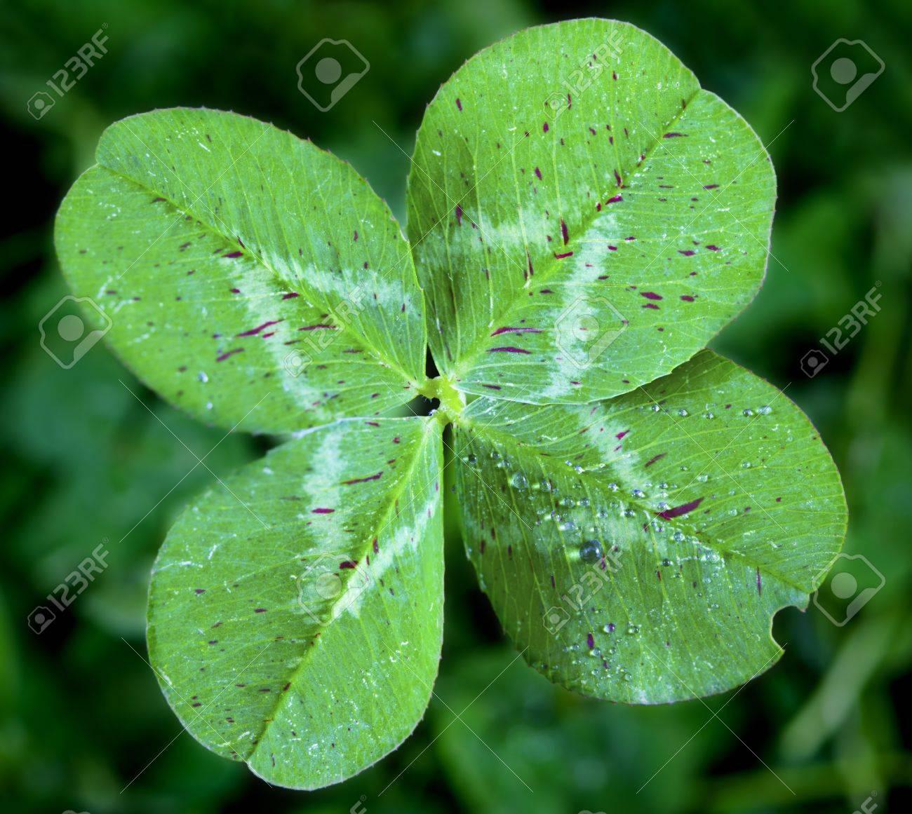 Four Leaf Clover Stock Photo - 10383866