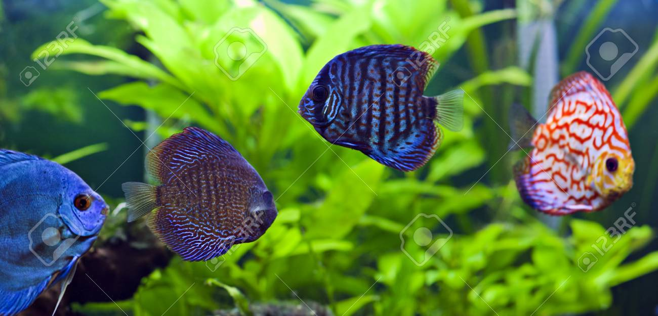 A group of colorful discus fish. Stock Photo - 10618413
