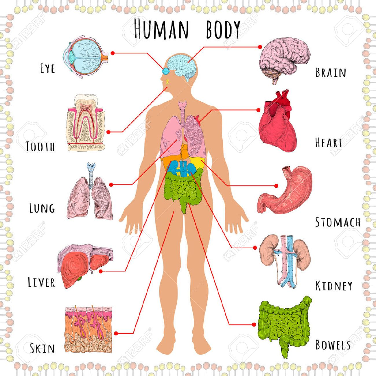 Human Body Medical Infographics With Person Silhouette And Organs