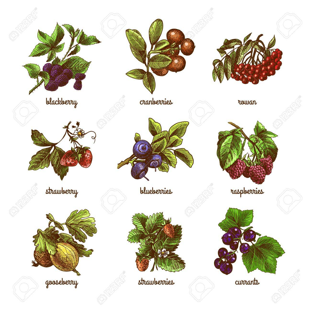 Natural organic berries set of rowan gooseberry currant colored sketch isolated vector illustration - 32133127