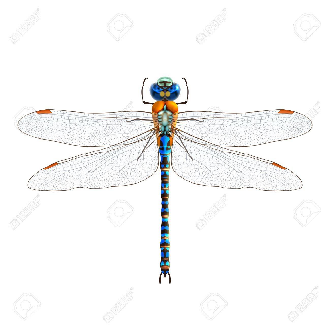 白い背景ベクトル イラストに分離された昆虫のリアルなトンボのイラスト素材 ベクタ Image