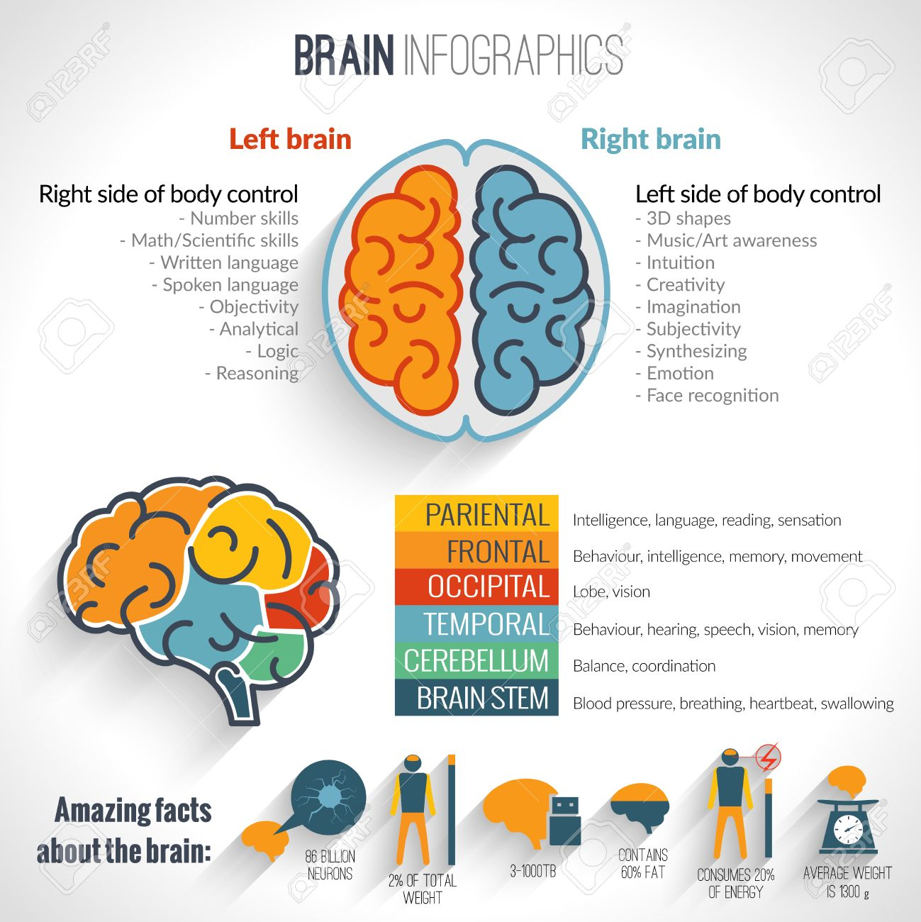 brain structure left analytical and right creative hemispheres brain structure left analytical and right creative hemispheres infographics set vector illustration stock vector 34314574