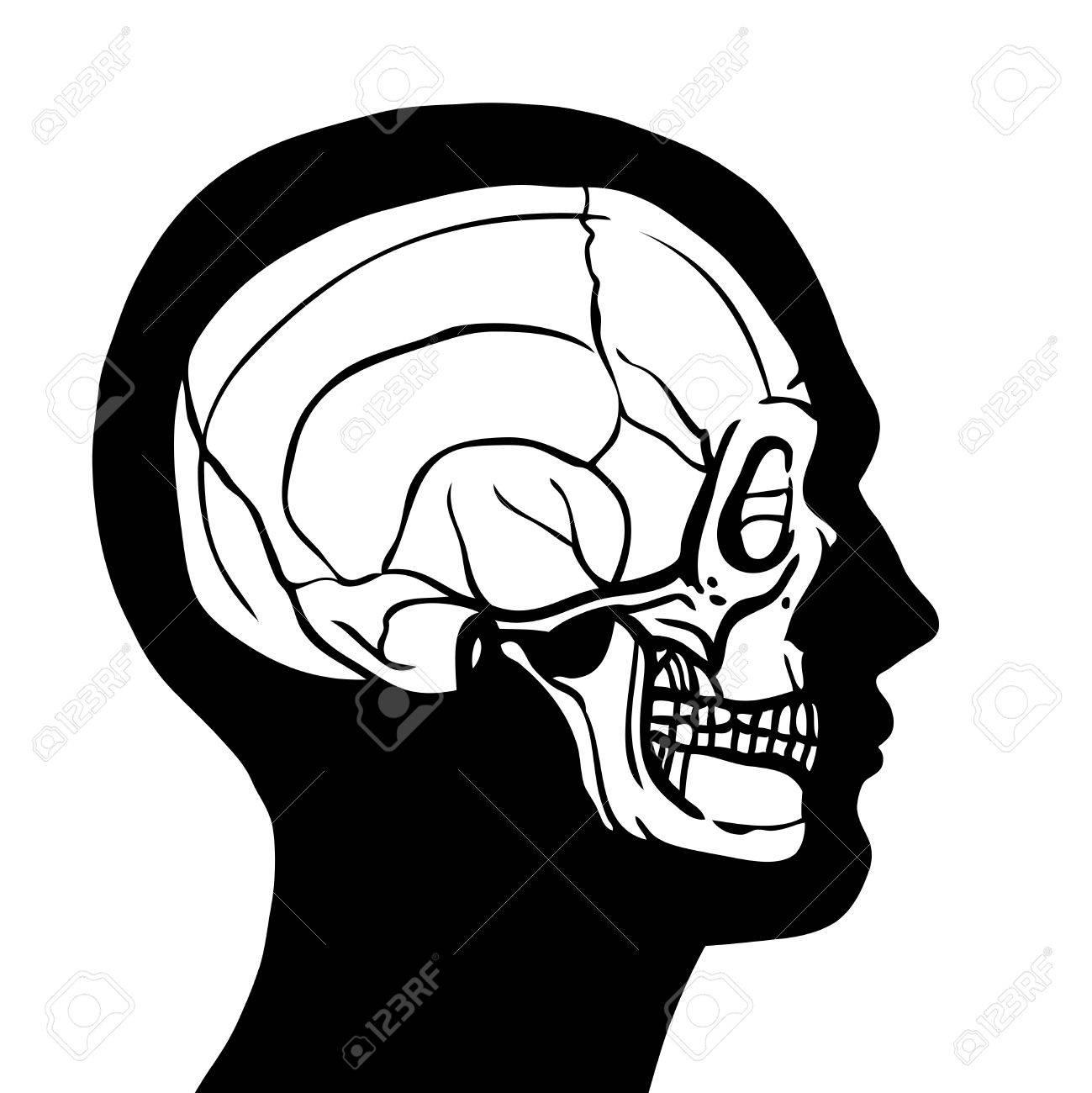 Humano Contorno Perfil De La Cabeza Con El Cráneo Adentro Concepto ...