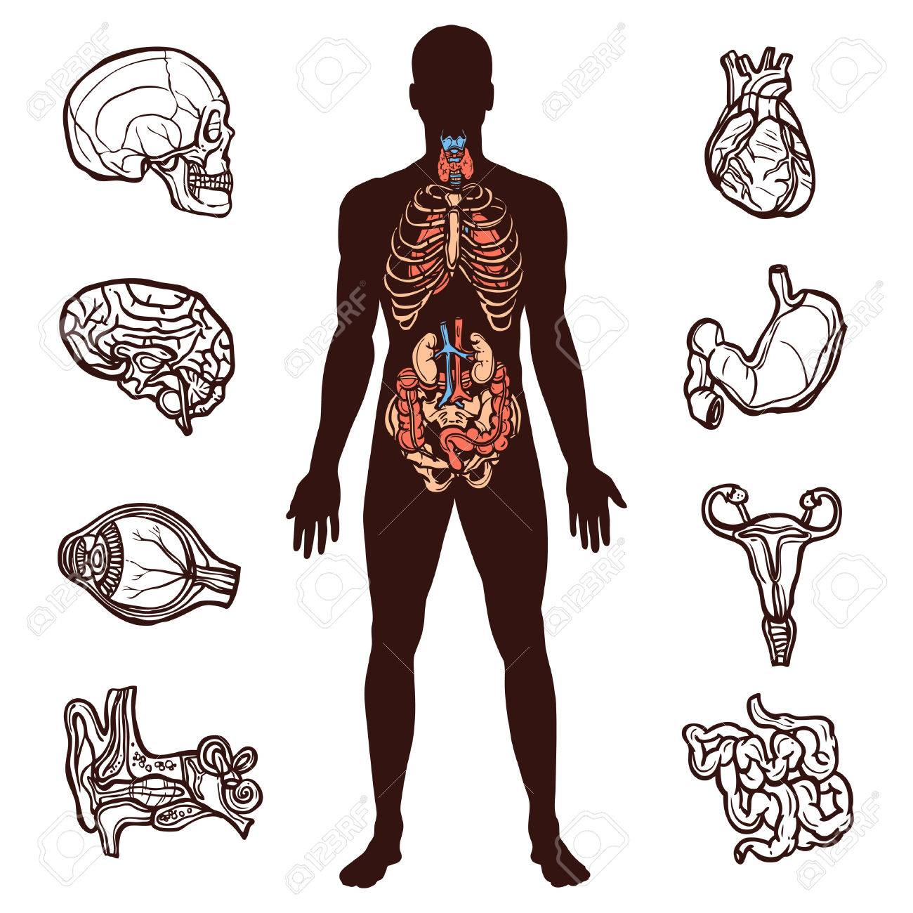 Anatomy Set With Sketch Internal Organs And Human Figure Isolated