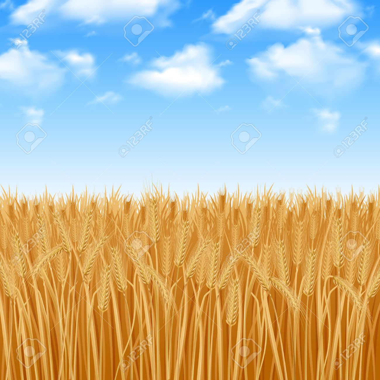 Golden yellow wheat field and summer sky background vector illustration - 42622278
