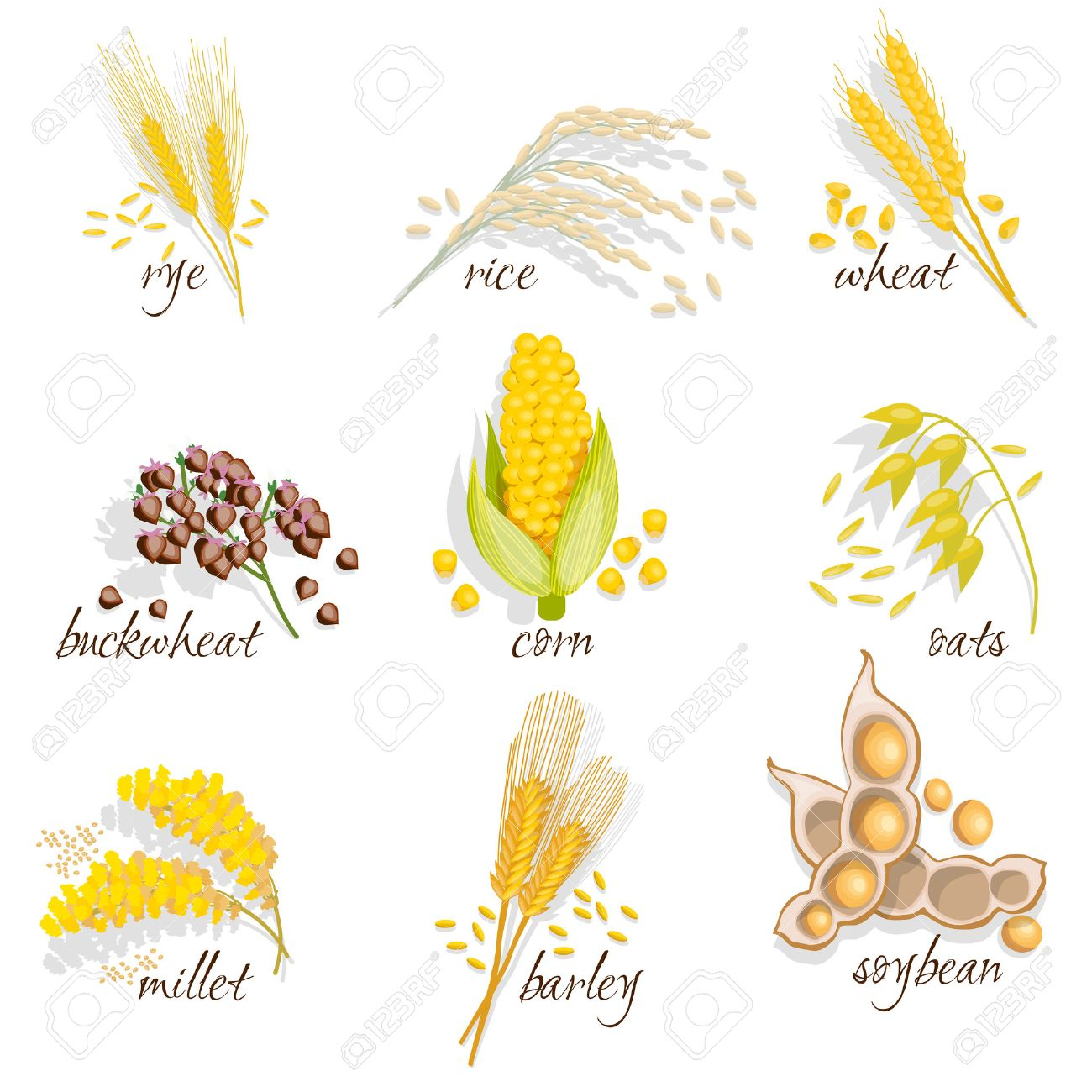 Cereals icon set with rye rice wheat corn oats millet soybean ear of grain vector illustration Stock Vector - 56988501