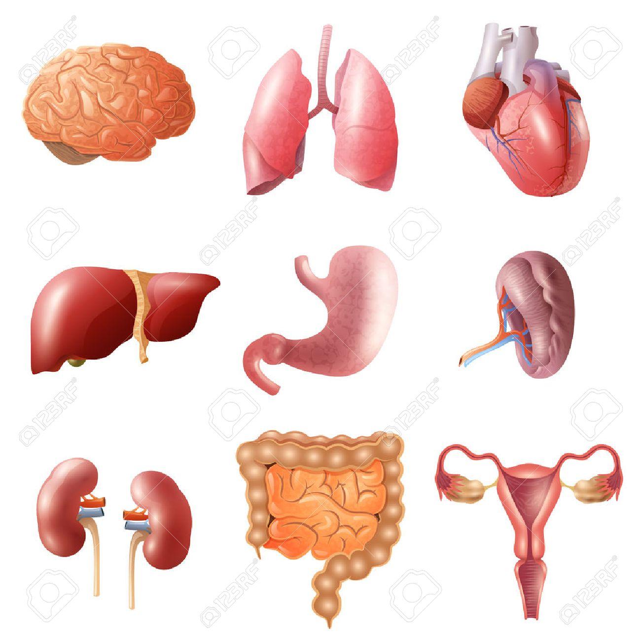 Diferentes órganos Humanos Planos Establecidos Con Los Intestinos ...