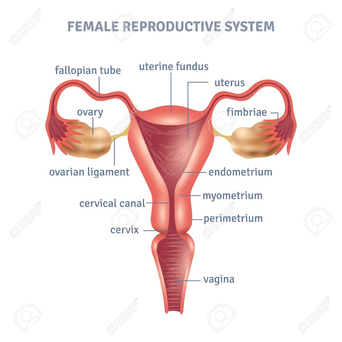 cartel médica útero con el esquema del sistema reproductor femenino