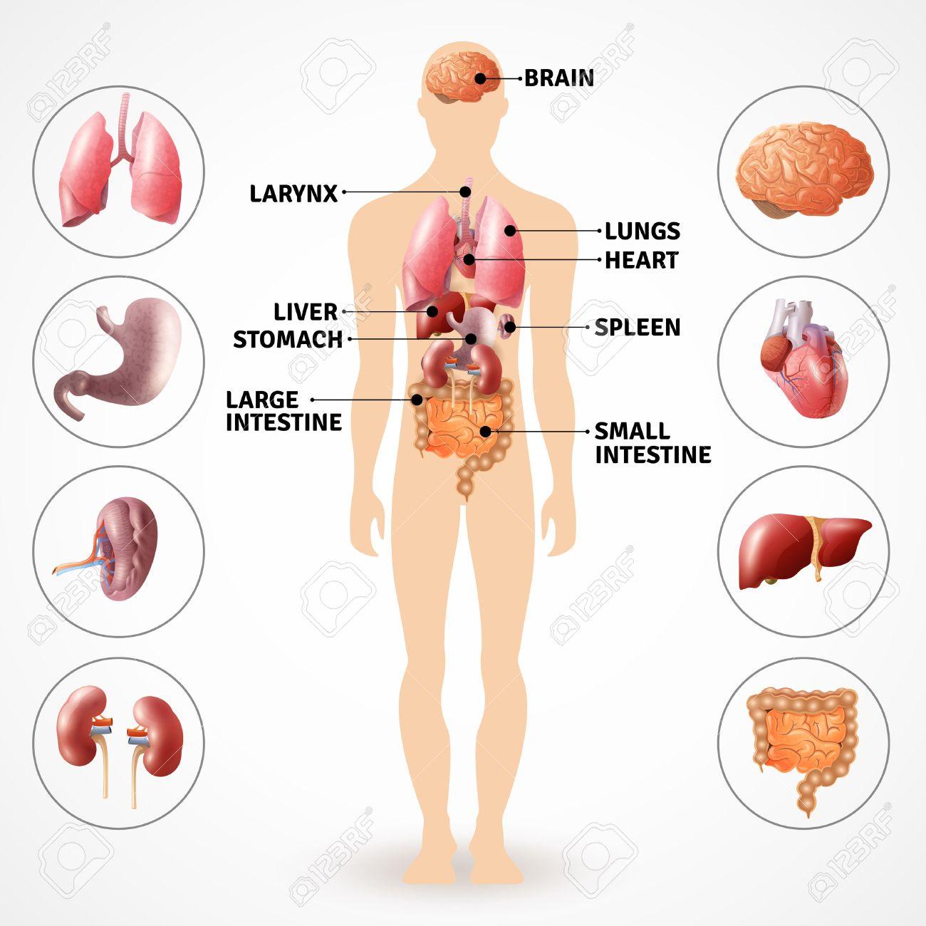 Médico Del Cartel Que Representa A Los órganos Internos Anatomía ...