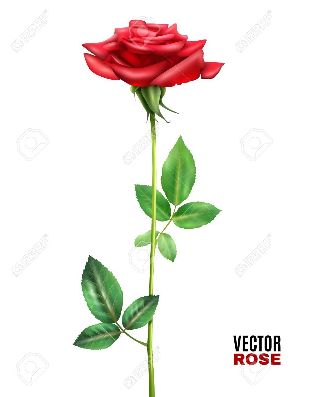 Hermoso Color Rojo Flor En Flor Rosa Con Hojas Y Tallo Verde Sobre ...