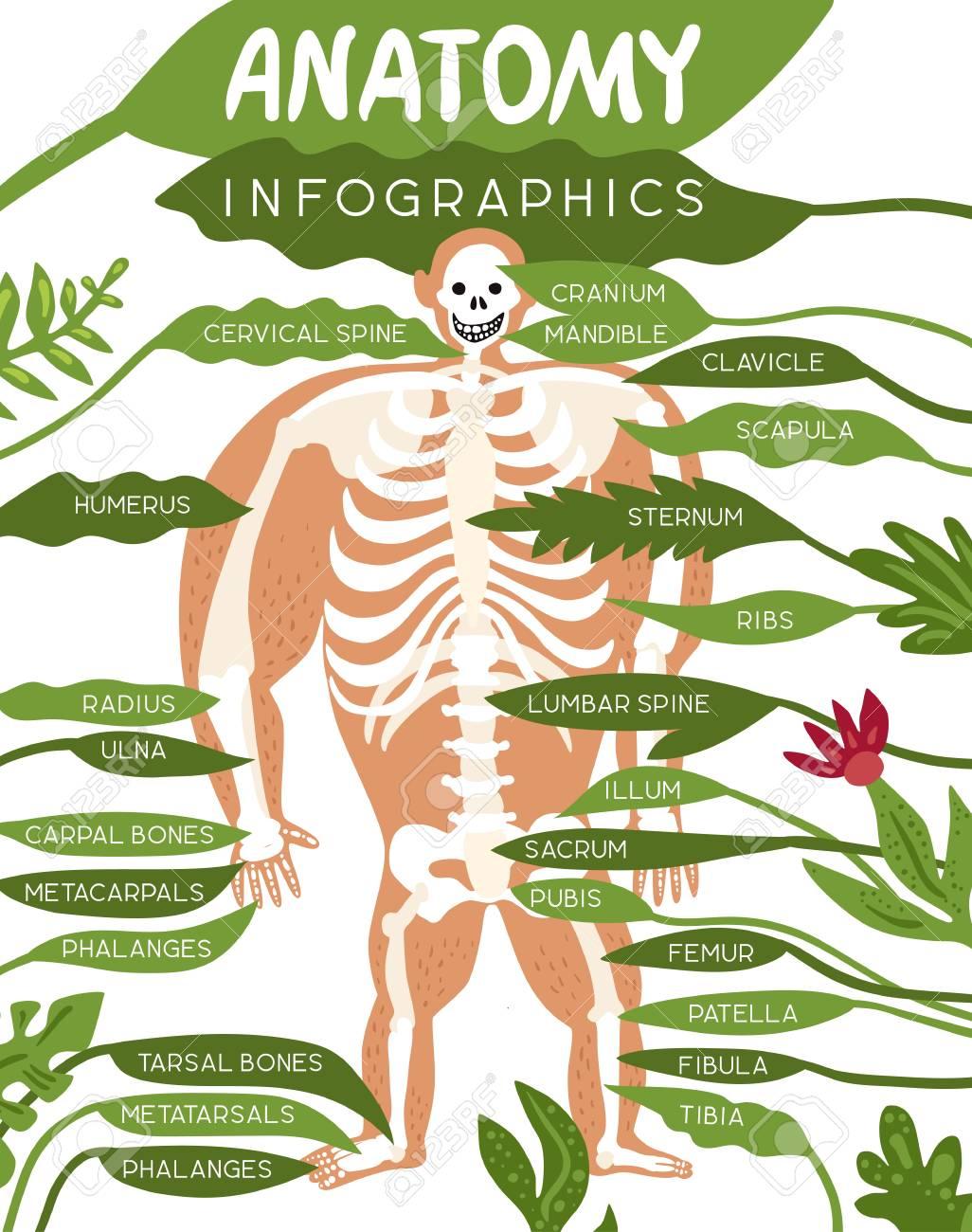 Skeleton Anatomie Infographics Plan Mit Bild Des Menschlichen ...