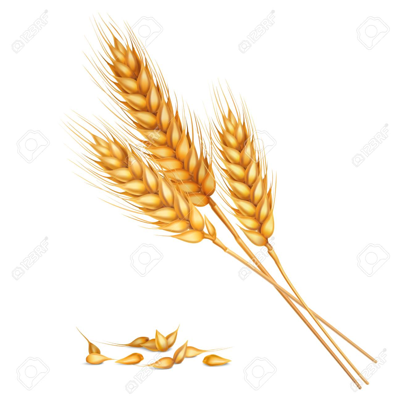 Realistic yellow ripe spikelets and grains of wheat composition on white background 3d vector illustration - 92712546
