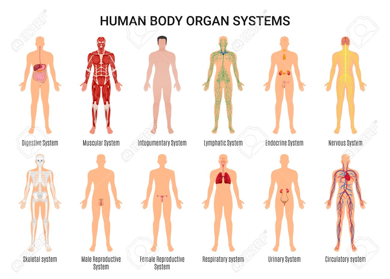 Main 12 Human Body Organ Systems Flat Educative Anatomy Physiology