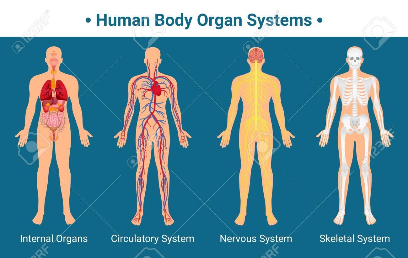 Human Body Internal Organs Circulatory Nervous And Skeletal Systems ...