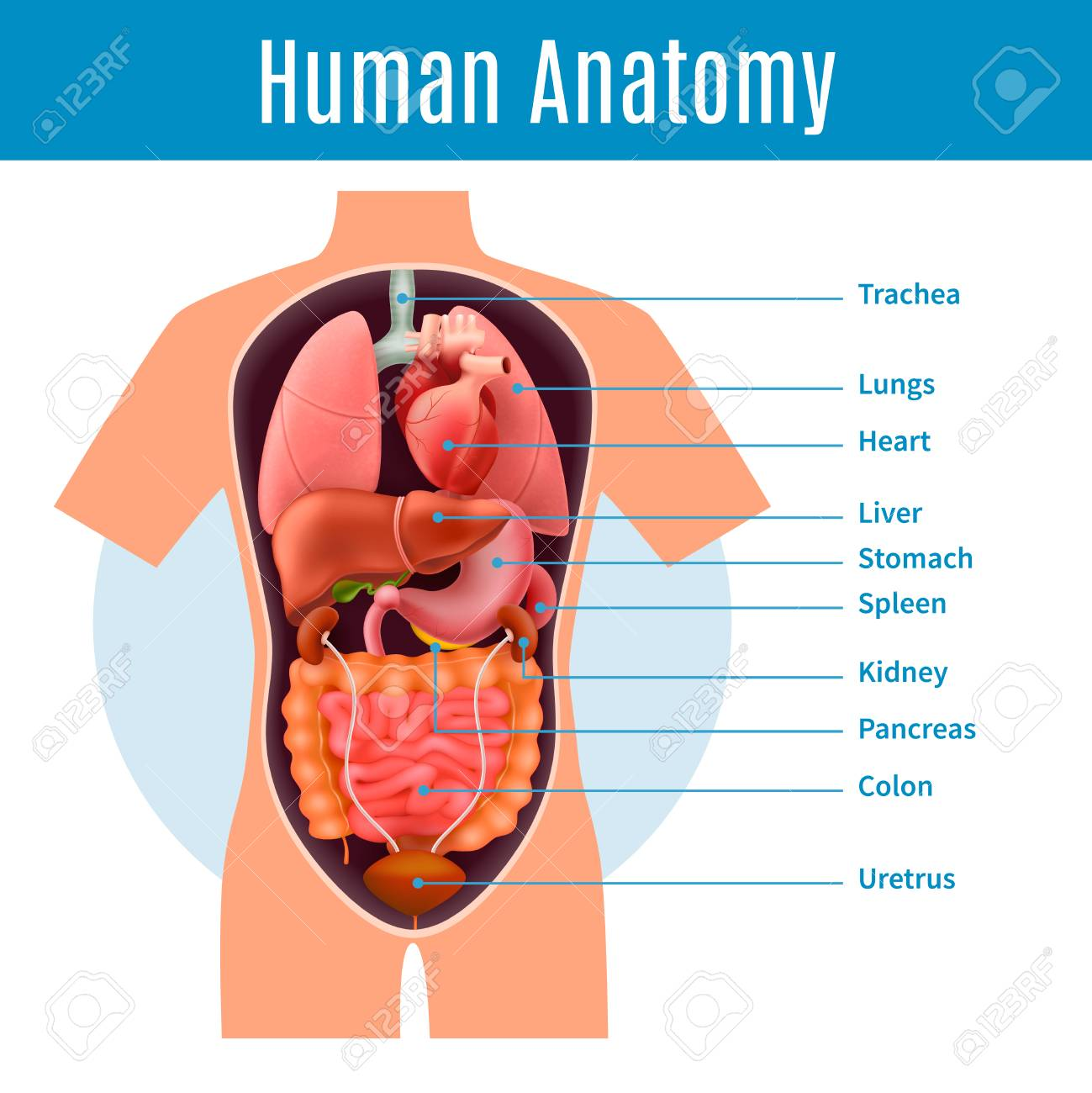Human Anatomy Poster With Body Organs Names Realistic Vector