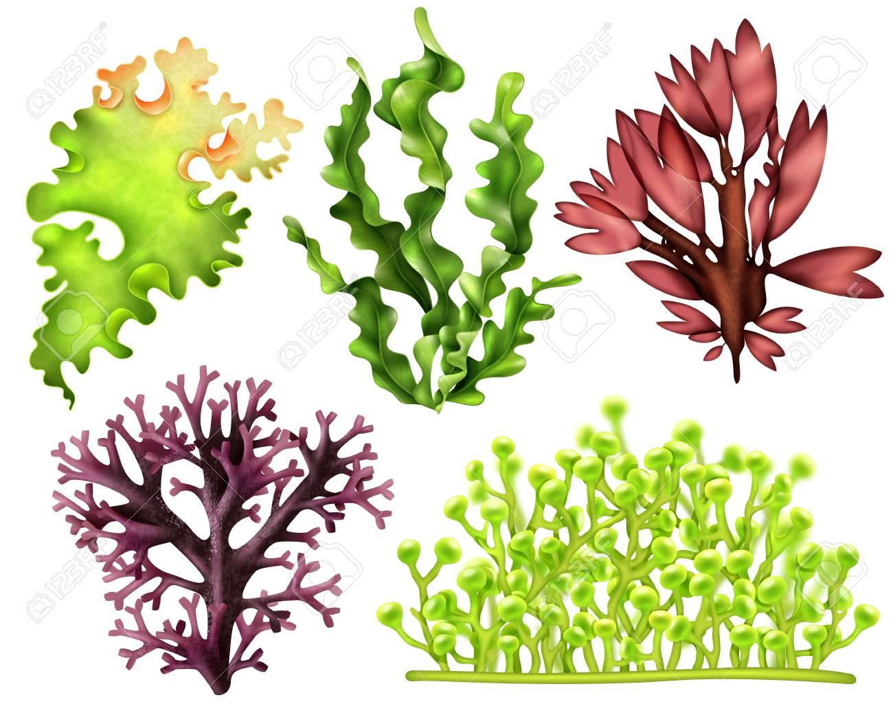 Set of realistic sea weeds - 100514497