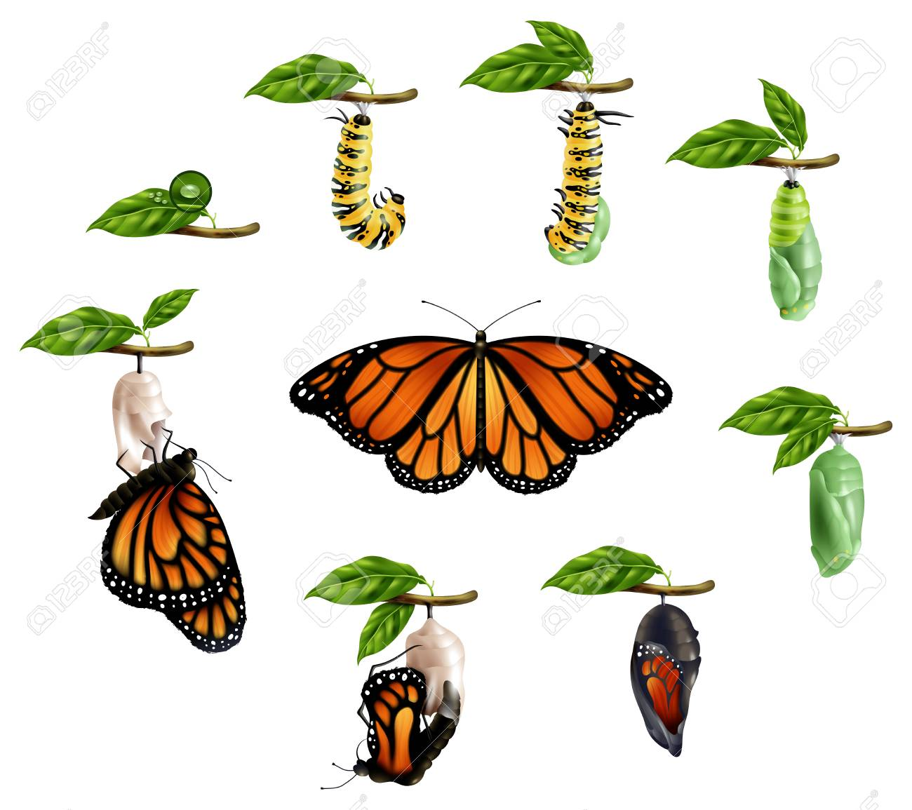 Image result for animal growth caterpillars to butterflies