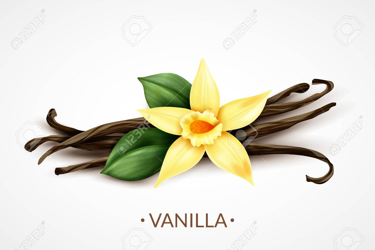 Sweet scented fresh vanilla flower with dried seed pods realistic composition of distinctive culinary flavoring vector illustration - 114519394