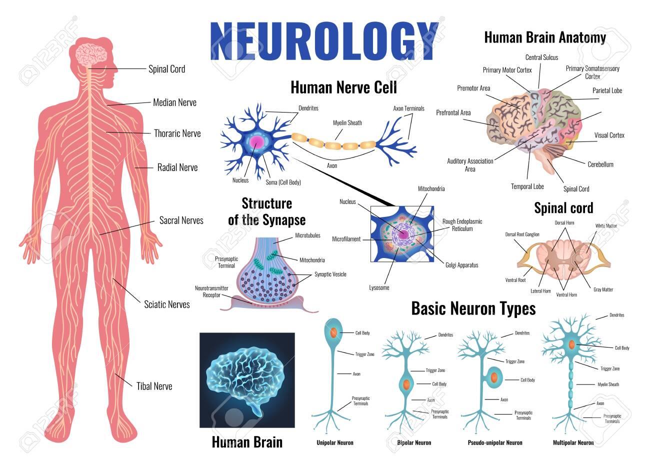 Neurology and human brain anatomy set flat isolated vector illustration - 126115728