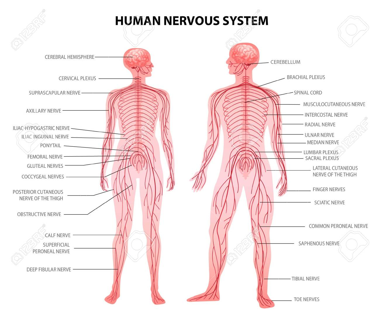 Human male female body central and peripheral nervous system realistic physiology educative chart anatomical terminology vector illustration - 143584433