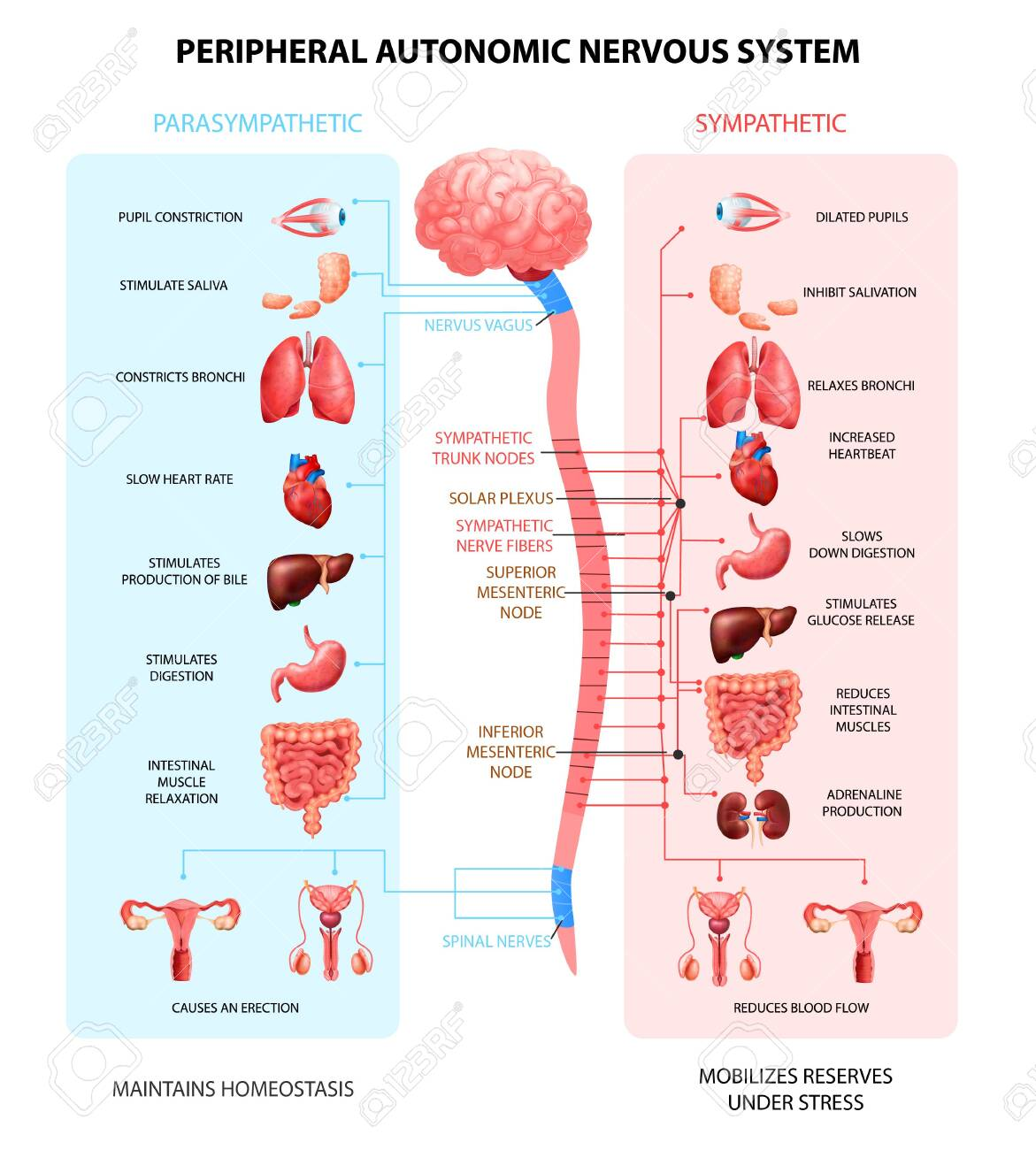 Human peripheral autonomic nervous system with sympathetic spinal cord neurons signal communication realistic colorful scheme vector illustration - 145195170