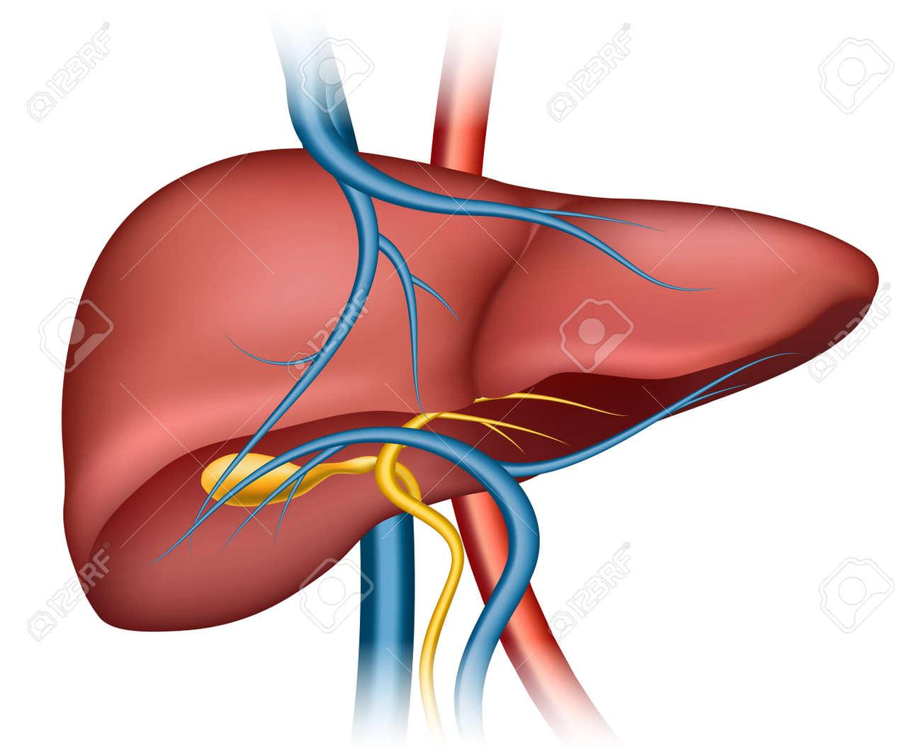 Human liver structure. Organ human, medical science, health internal, vector illustration - 166759678