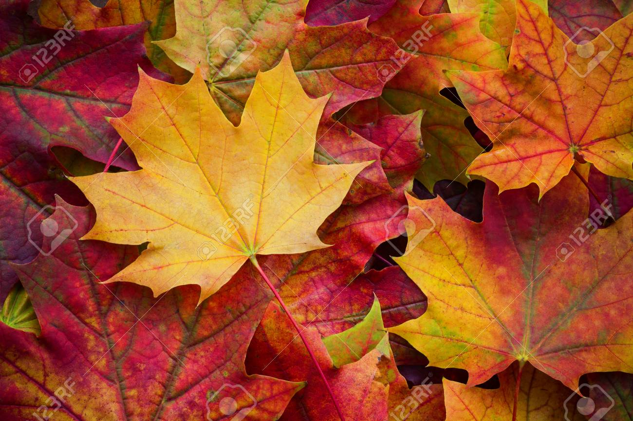 Amazing multicolor background of natural autumn foliage. Colorful background of multicolor leaves with natural light. Majestic bright autumn foliage color background - 87653179