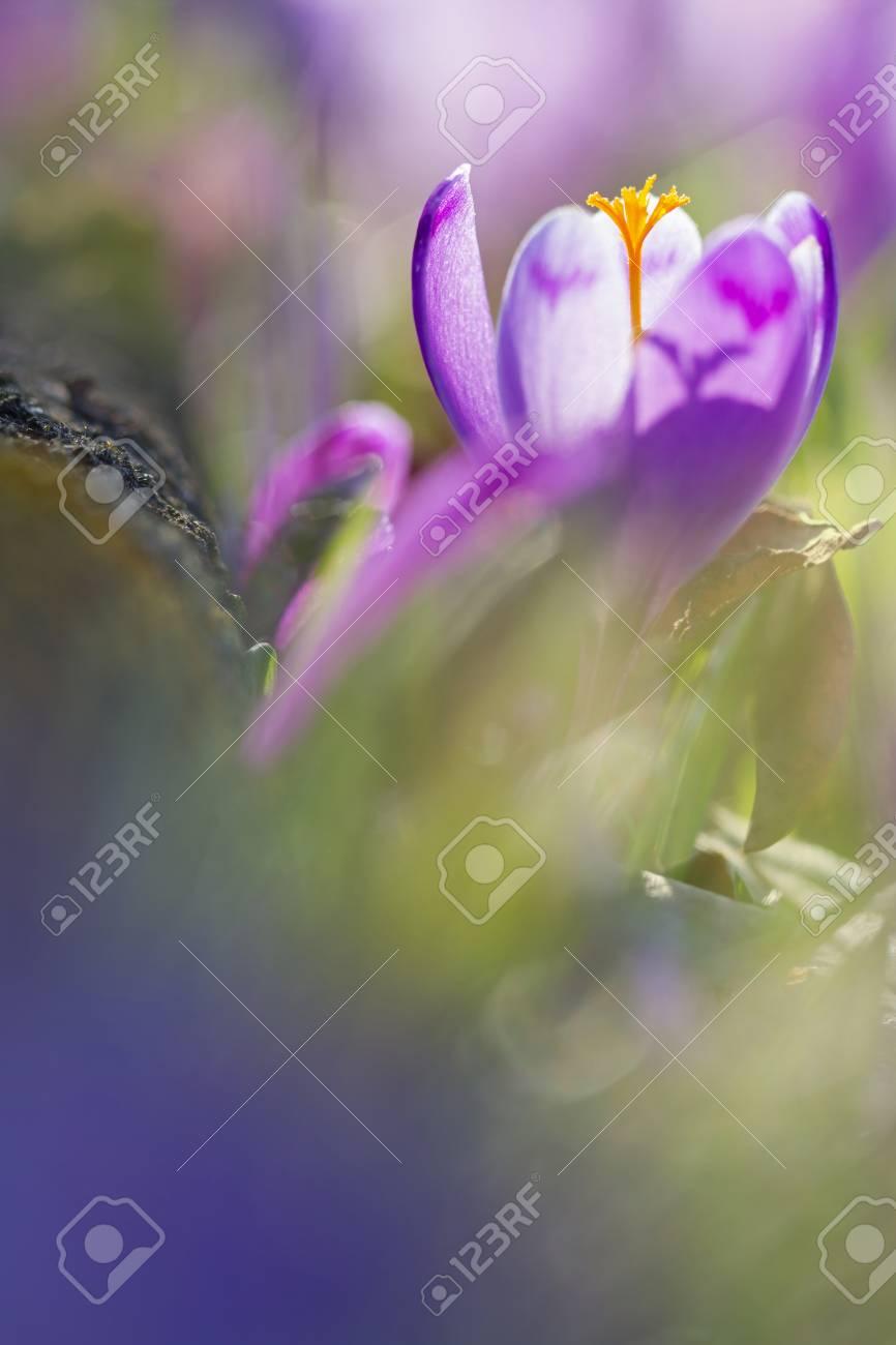 Amazing sunlight on spring flower crocus. Blooming spring flowers crocus growing in wildlife. Majestic sunbeams on spring flower crocus - 114056178