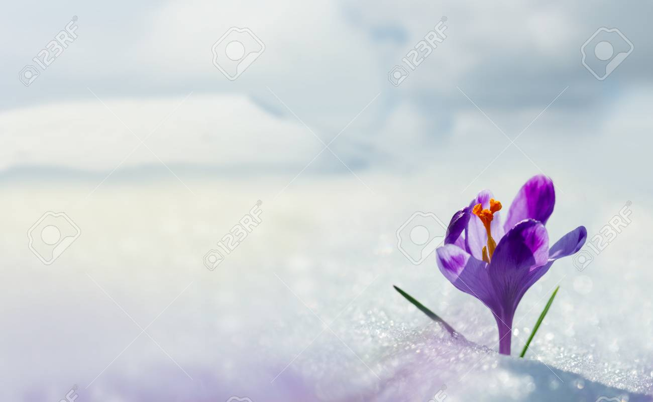 Amazing spring flower crocus in mountains in snow. Blooming spring flowers crocus growing in mountains. Majestic spring flower crocus in snow - 114056179