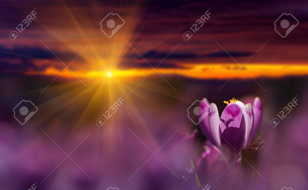 Amazing sunrise with spring flower crocus and colorful clouds. Blooming spring flowers crocus growing in wildlife. Majestic sunbeams on spring flower crocus - 114056180