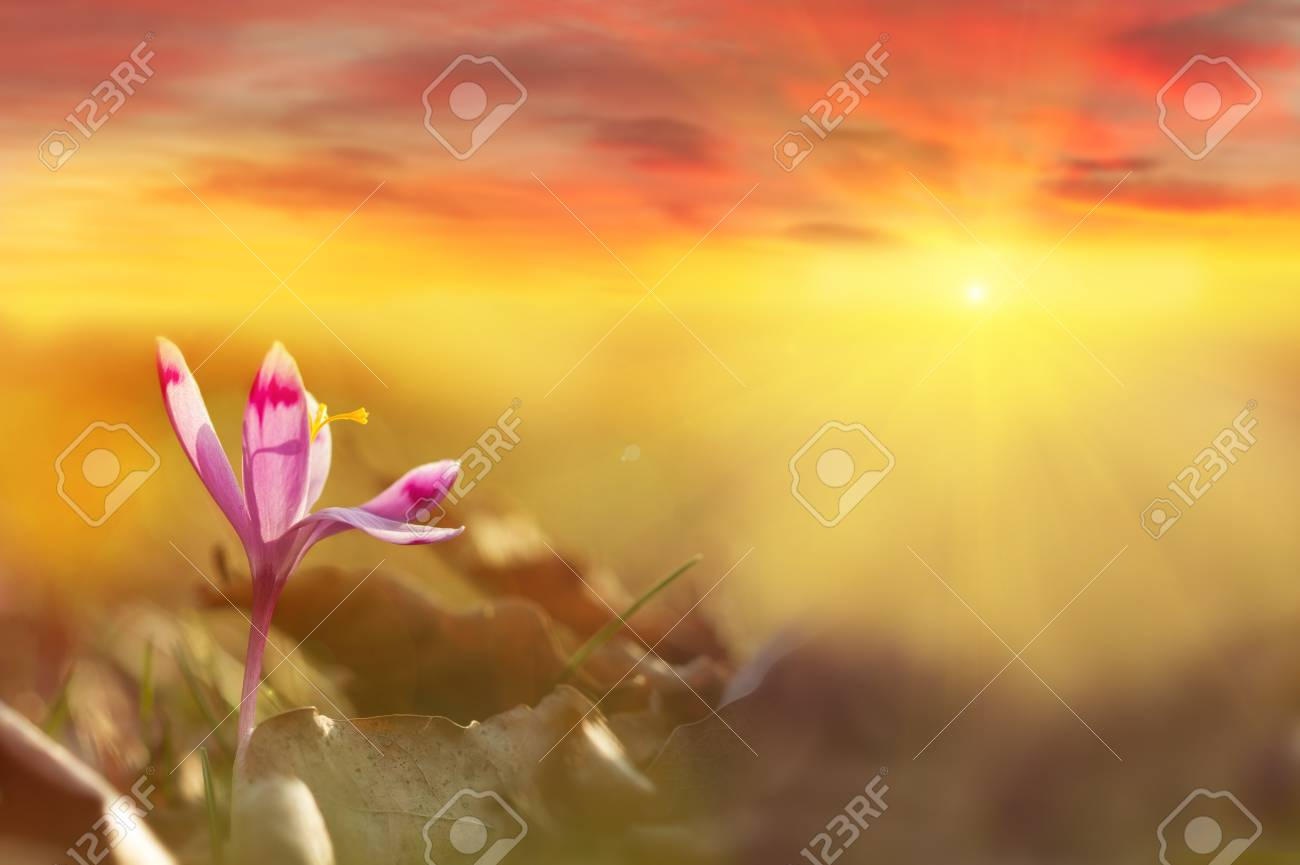 Golden sunlight on beautiful spring flower crocus growing wild. Dramatic sunrise with wildgrowing spring flower crocus. Amazing beauty of wild flowers in nature with colorful clouds - 114056187
