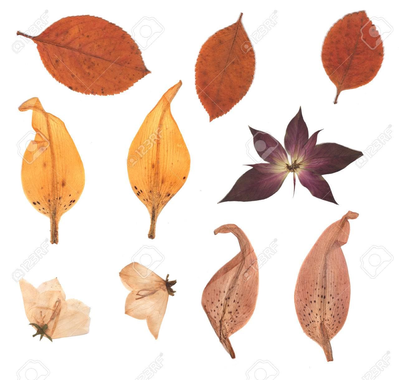 pressed and dried buds flower autumn leaves lily petals isolated