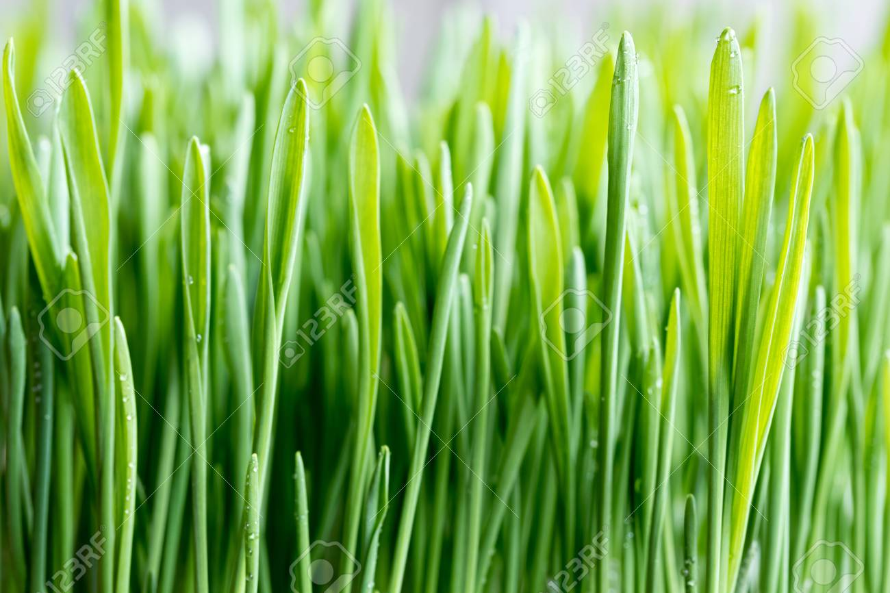 Close-up of young green barley grass, selective focus - 90589541