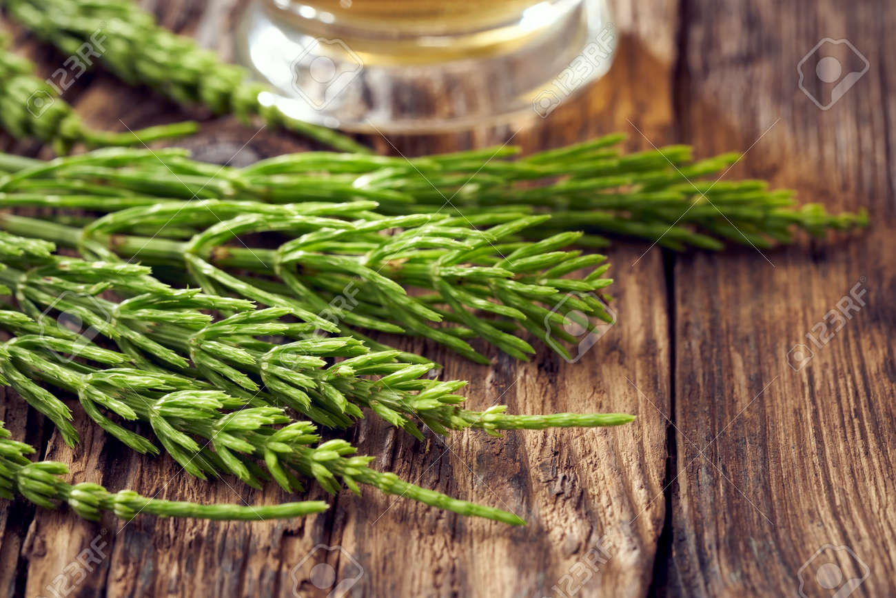 Fresh horsetail or equisetum plant on a table - 169337973