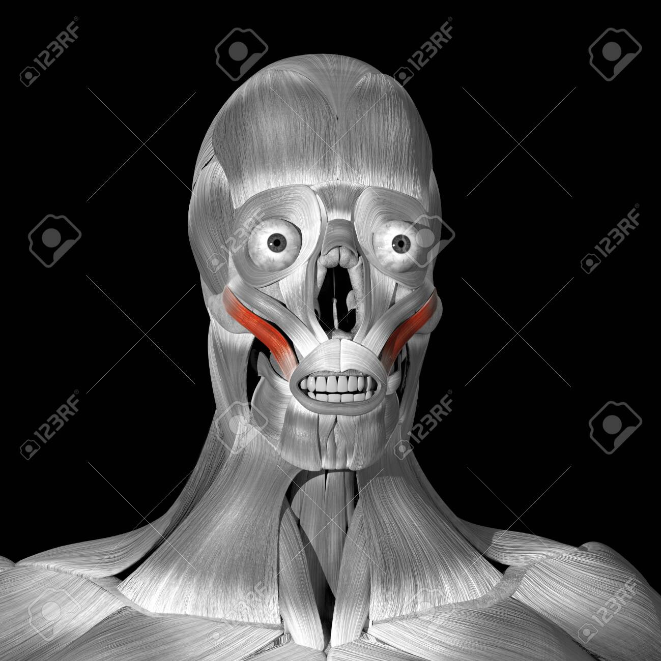 This is a 3d illustration of the zigomaticus major muscles - 141282951