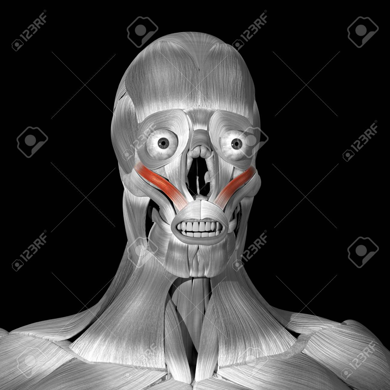 This is a 3d illustration of the zigomaticus minor muscles - 141208900