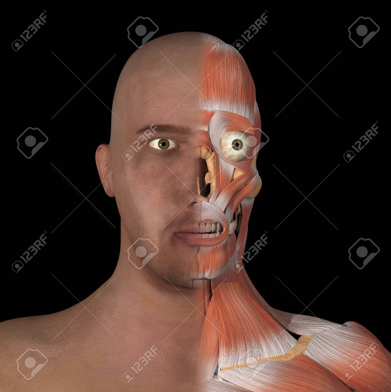 This is a 3d illustration of half facial muscles - 142173662
