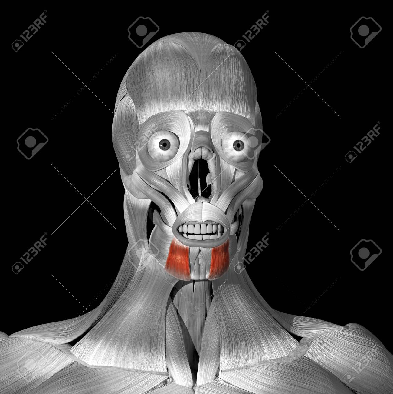 This is a 3d illustration of the depressor anguli oris muscles - 142173664
