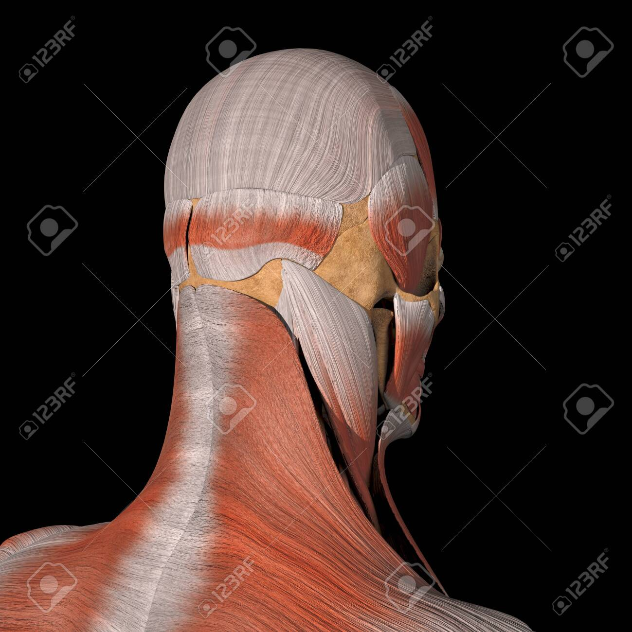 This is a 3d illustration of the facial muscles back view - 142140484