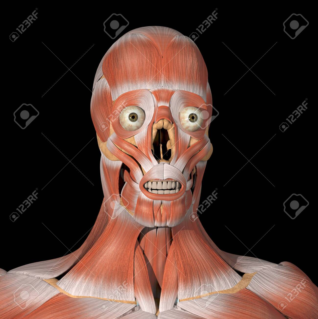 This is a 3d illustration of the facial muscles front view - 142140487
