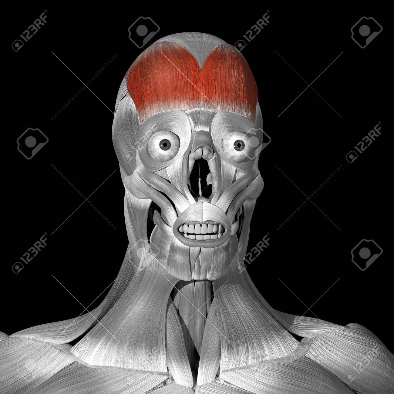 This is a 3d illustration of the Frontalis muscle - 142140489