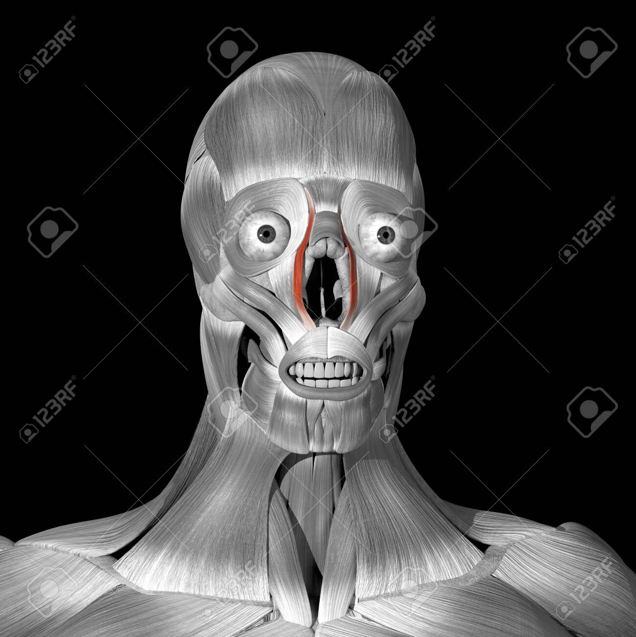 This is a 3d illustration of the levator labii superioris alaeque nasi muscles - 142140490