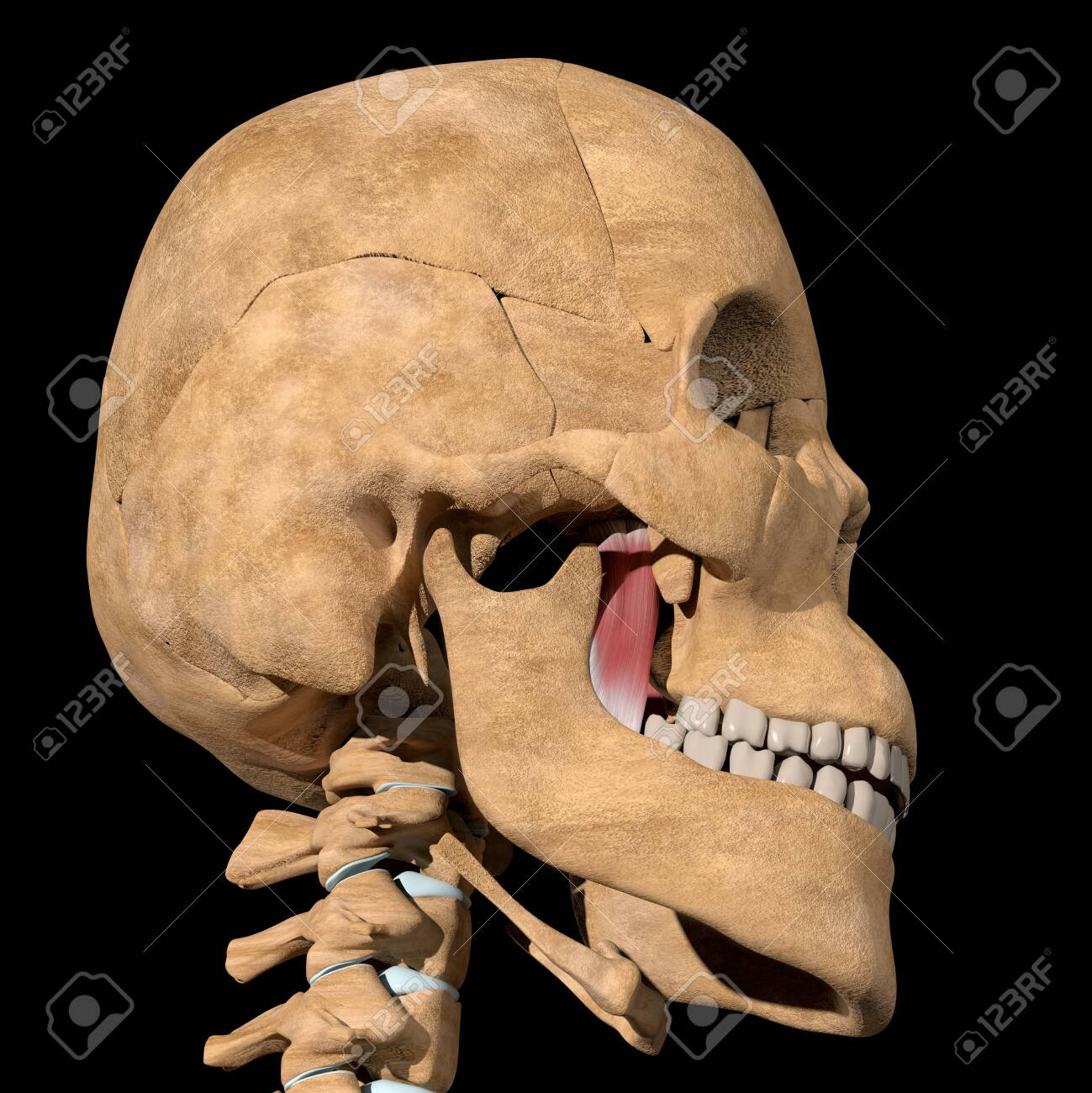 This is a 3d illustration of the medial pterygoid muscles on skeleton - 141461344