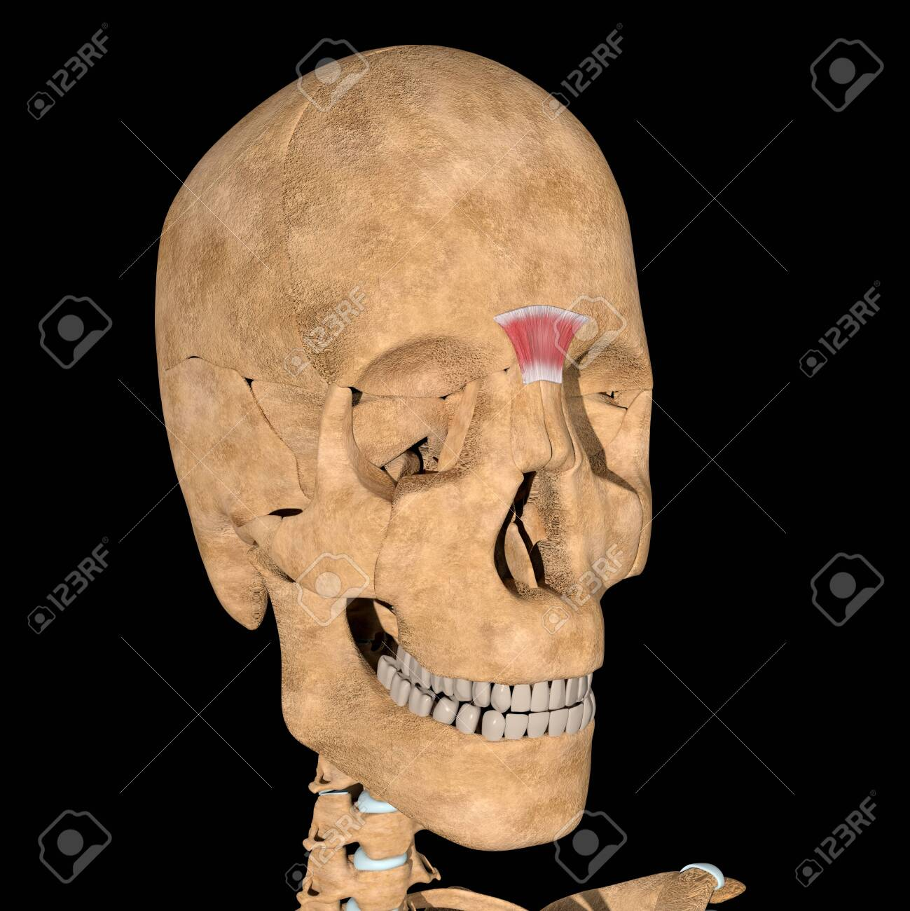 This is a 3d illustration of the procerus muscle on skeleton - 141461358