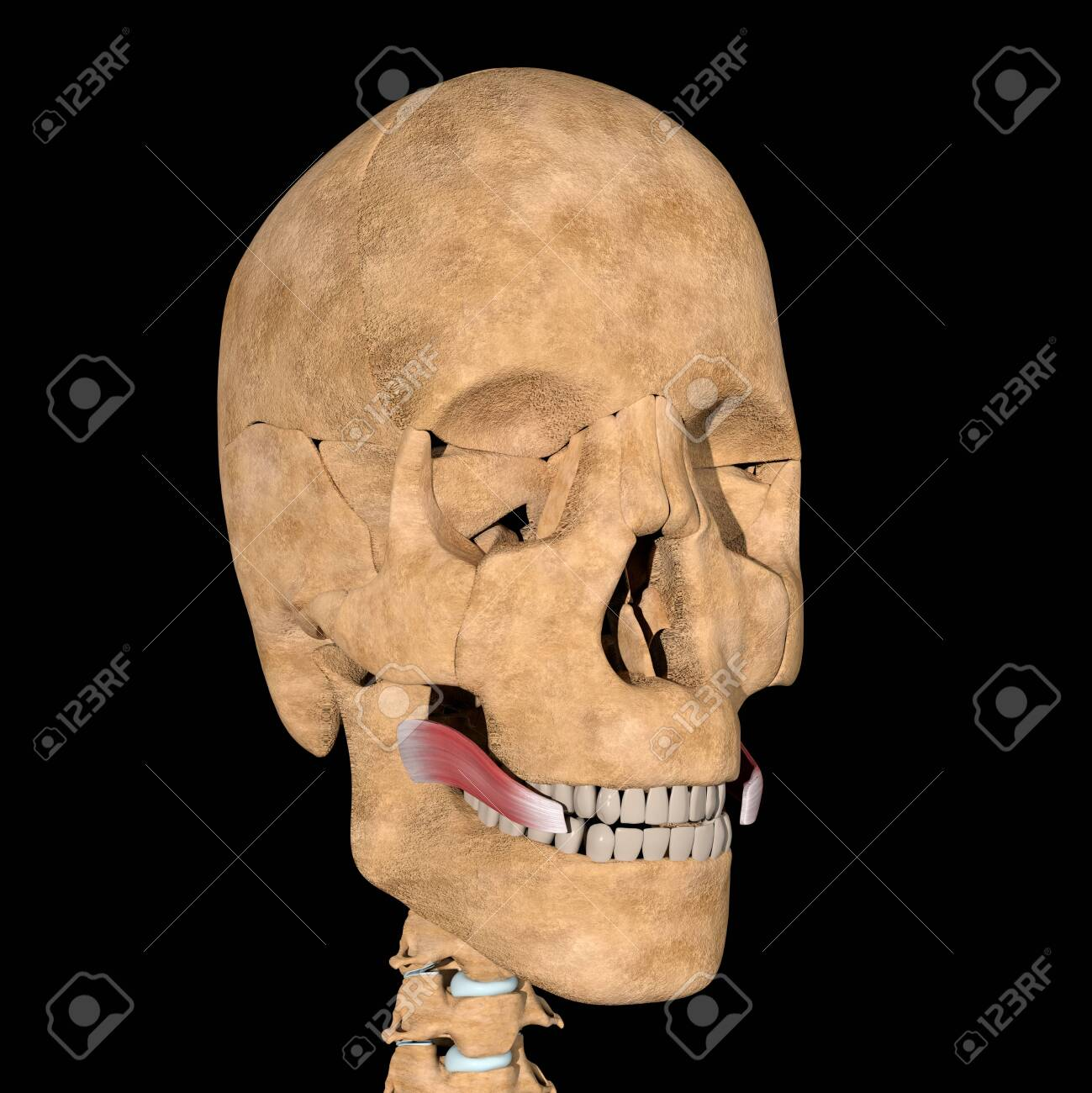 This is a 3d illustration of the risorius muscles on skeleton - 141461720