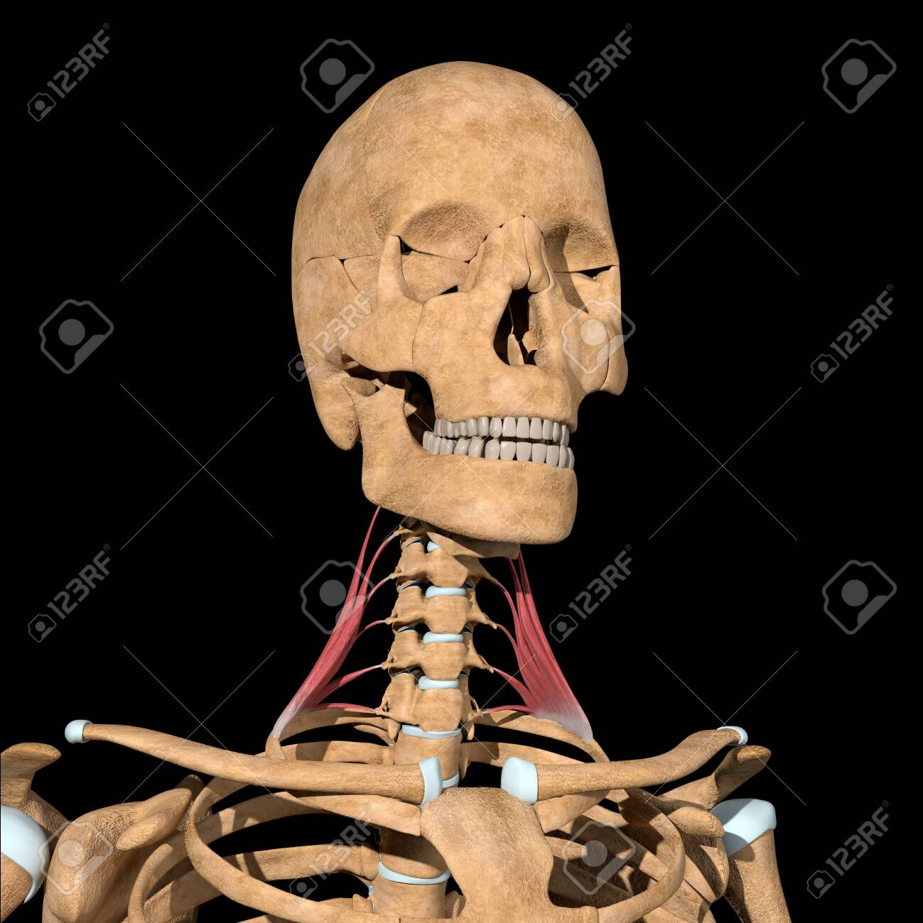 This 3d illustration shows the scalene medius muscles on skeleton - 141536742