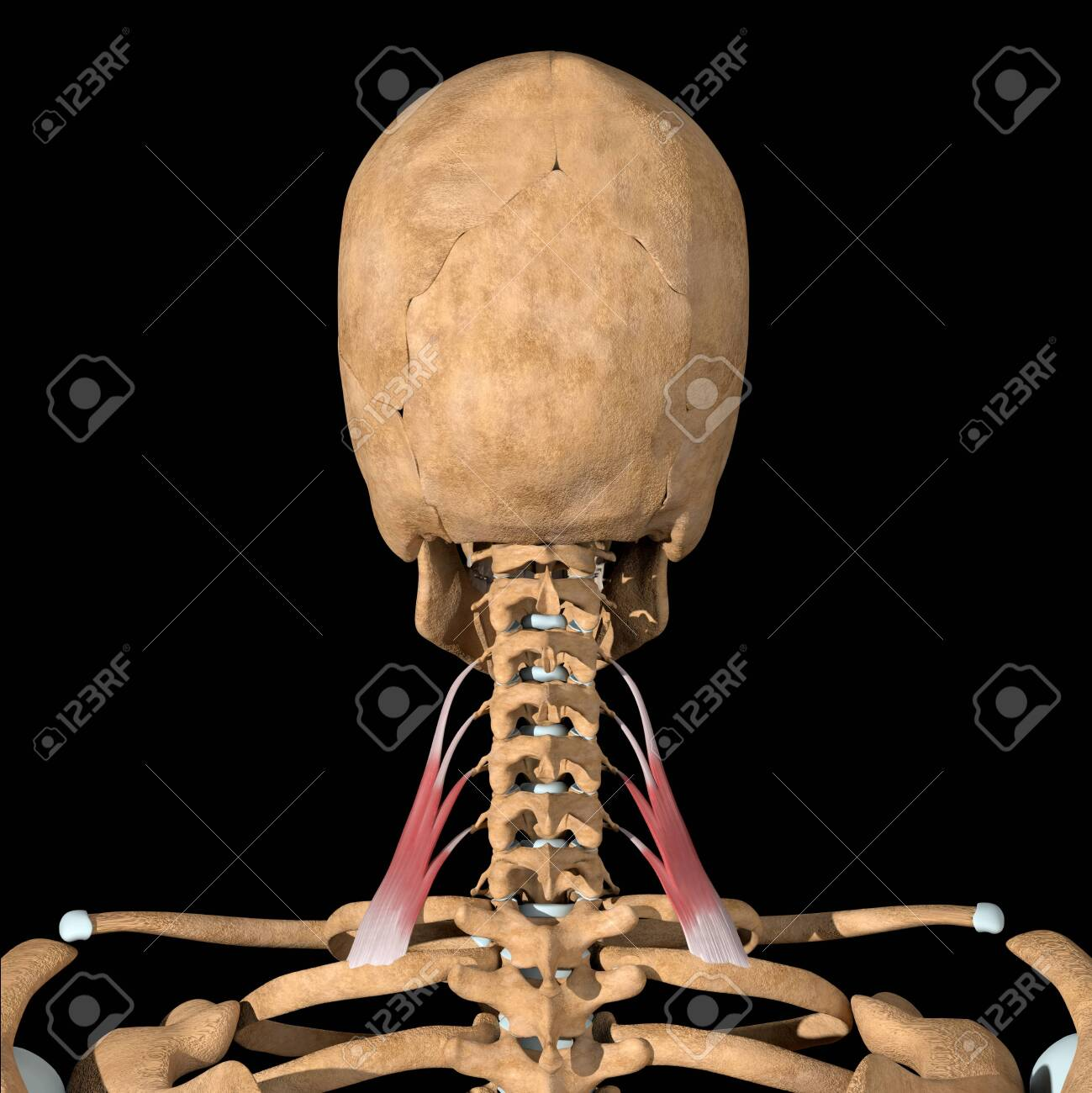 This 3d illustration shows the scalene posterior muscles on skeleton - 142140506